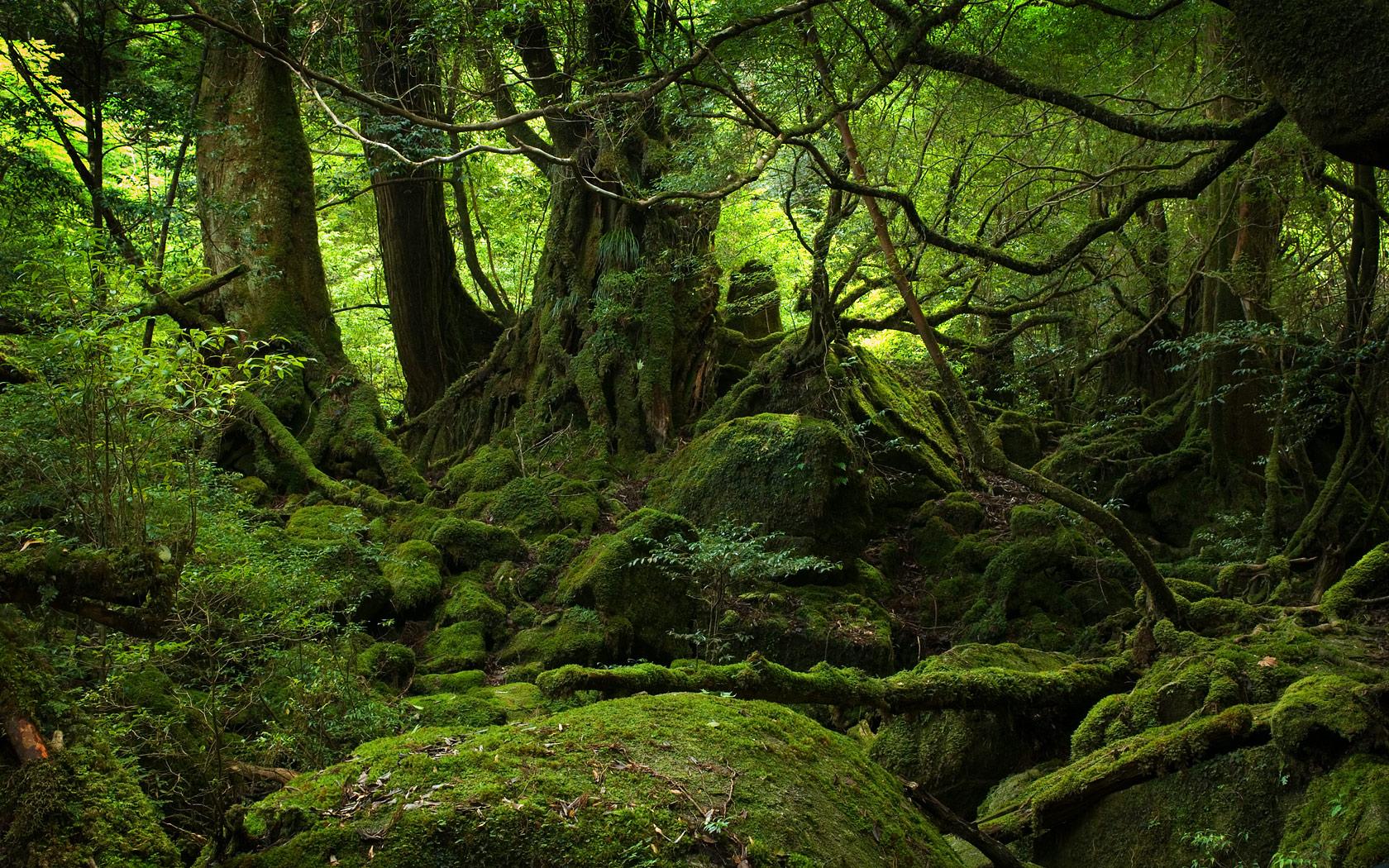 yakushima forest desktop wallpaperyakushima forest