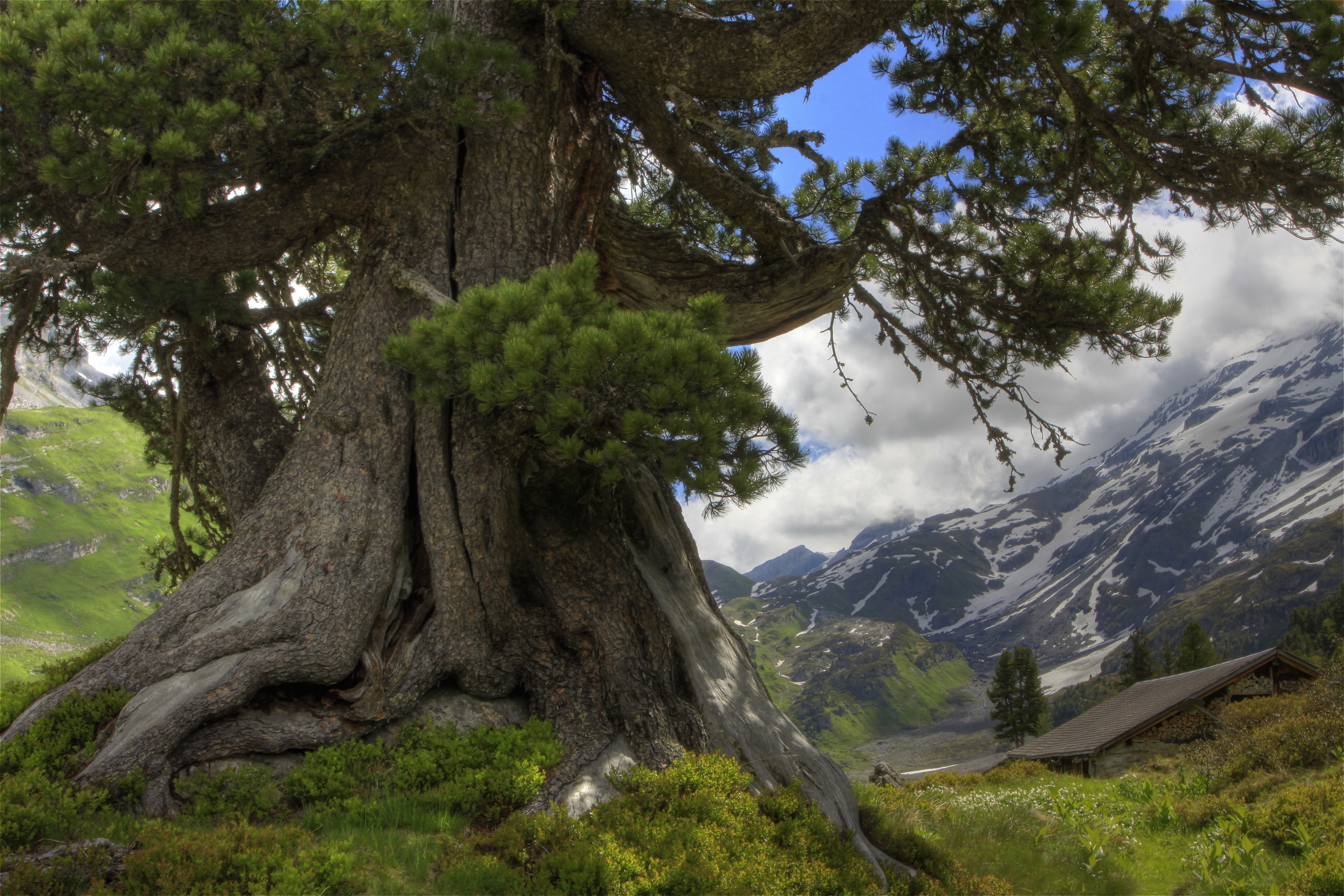 большое дерево  № 1647735 бесплатно