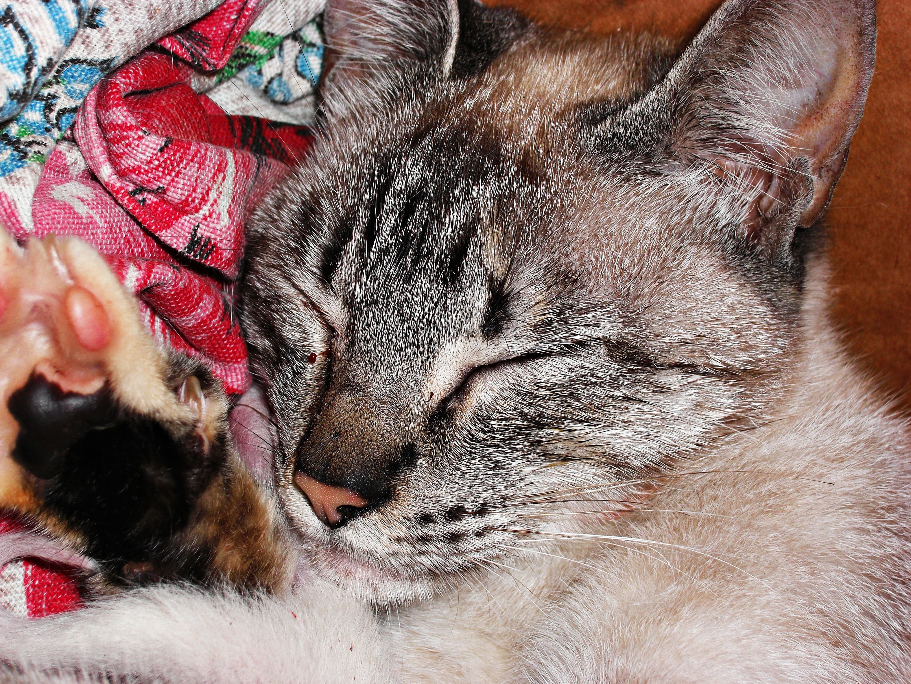 cat - gata Suzy sleep Novo Hamburgo - RS - Brasil