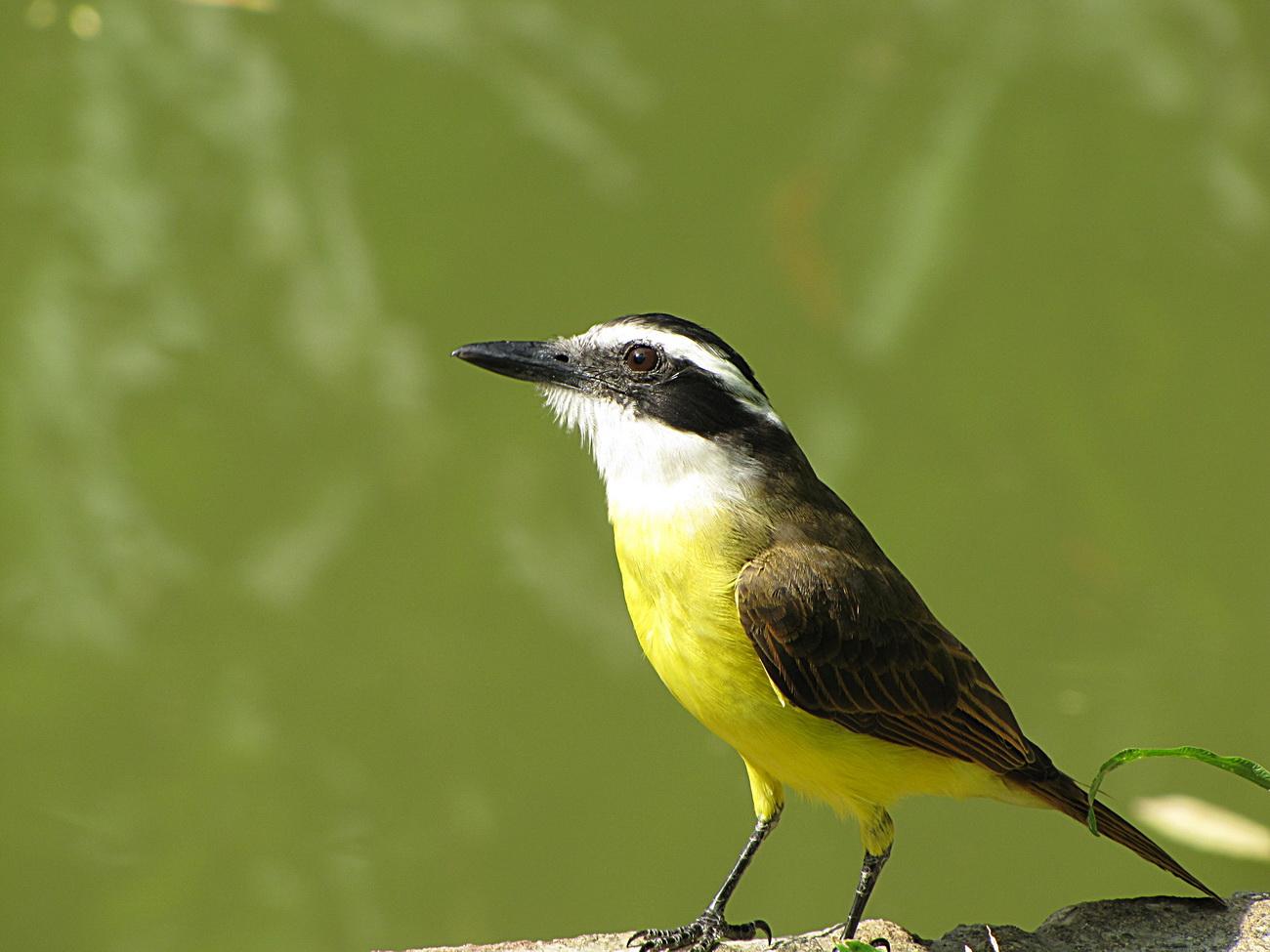 Bentevi 1 Bird General Nature