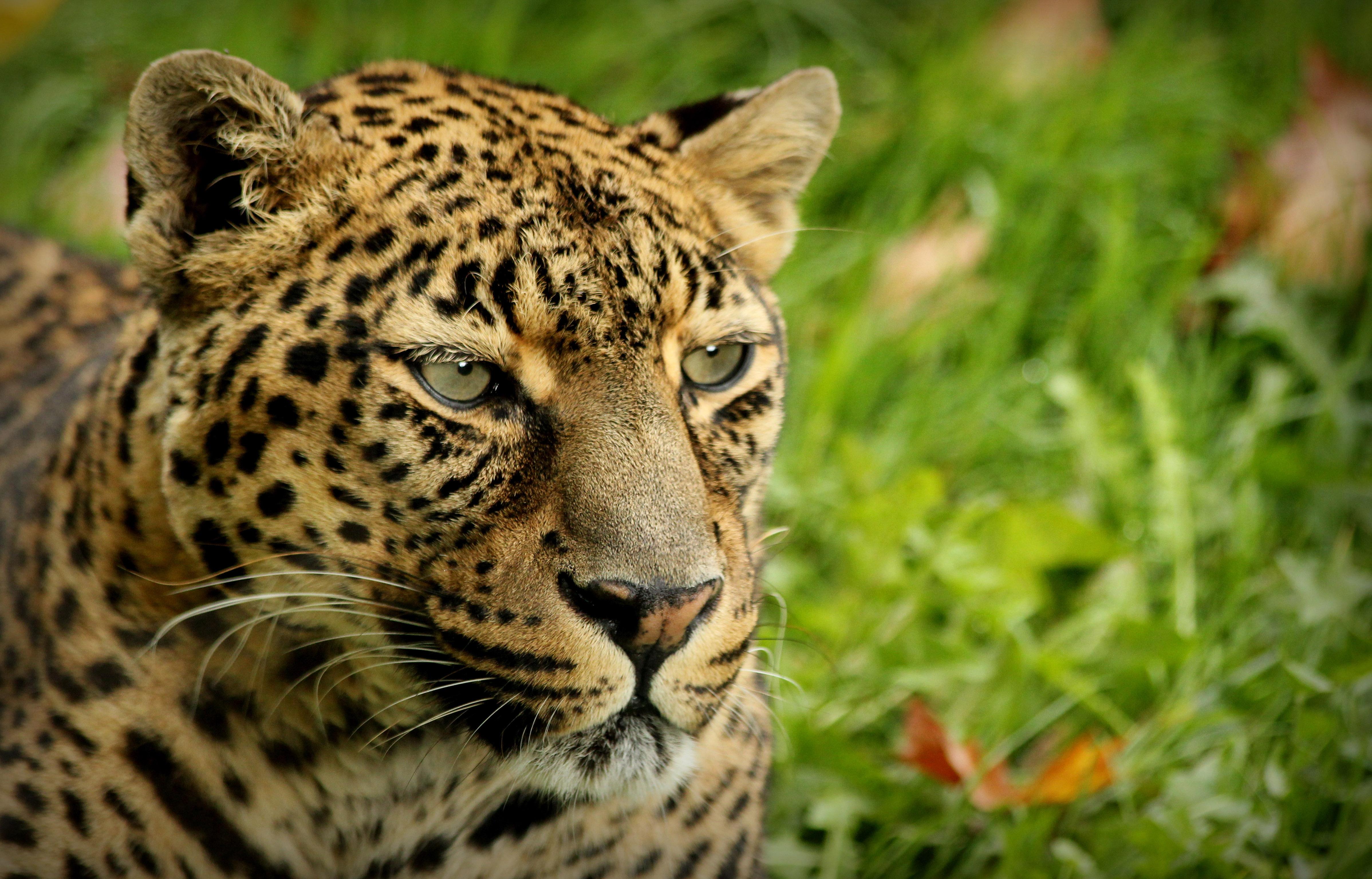 Leopard By Pixel Revolution