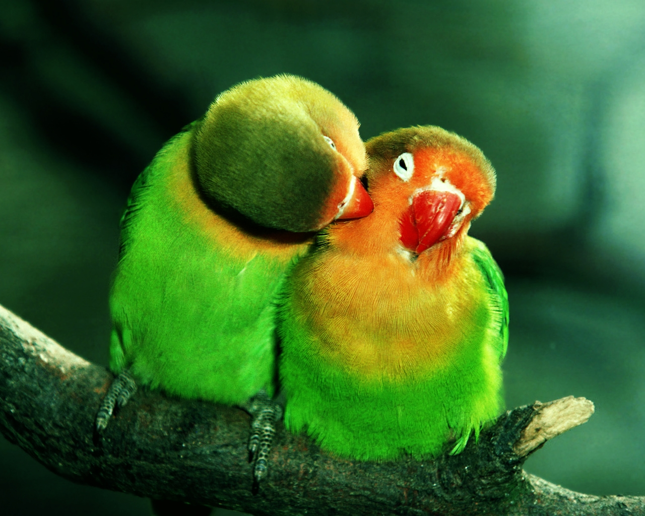 parrots in love HD