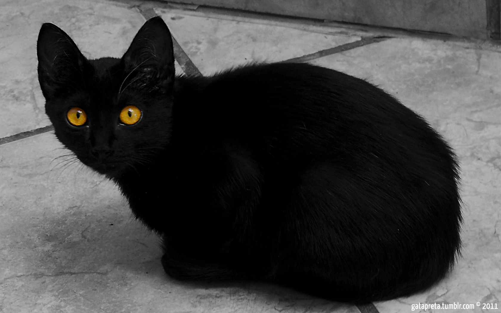 Black cat with yellow eyes : Desktop and mobile wallpaper ...