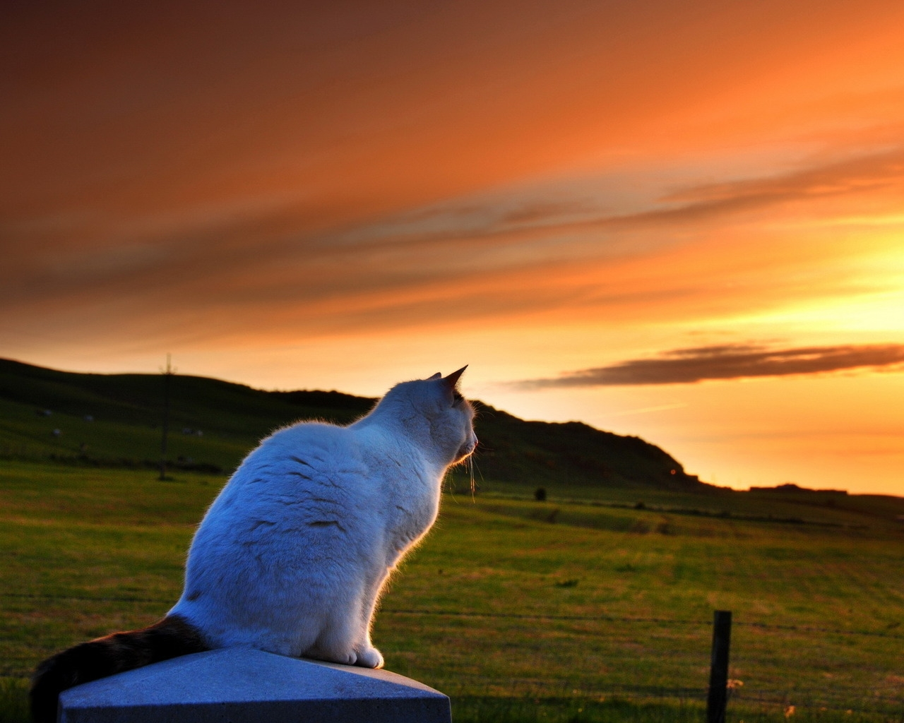 cat looking to sunset HD