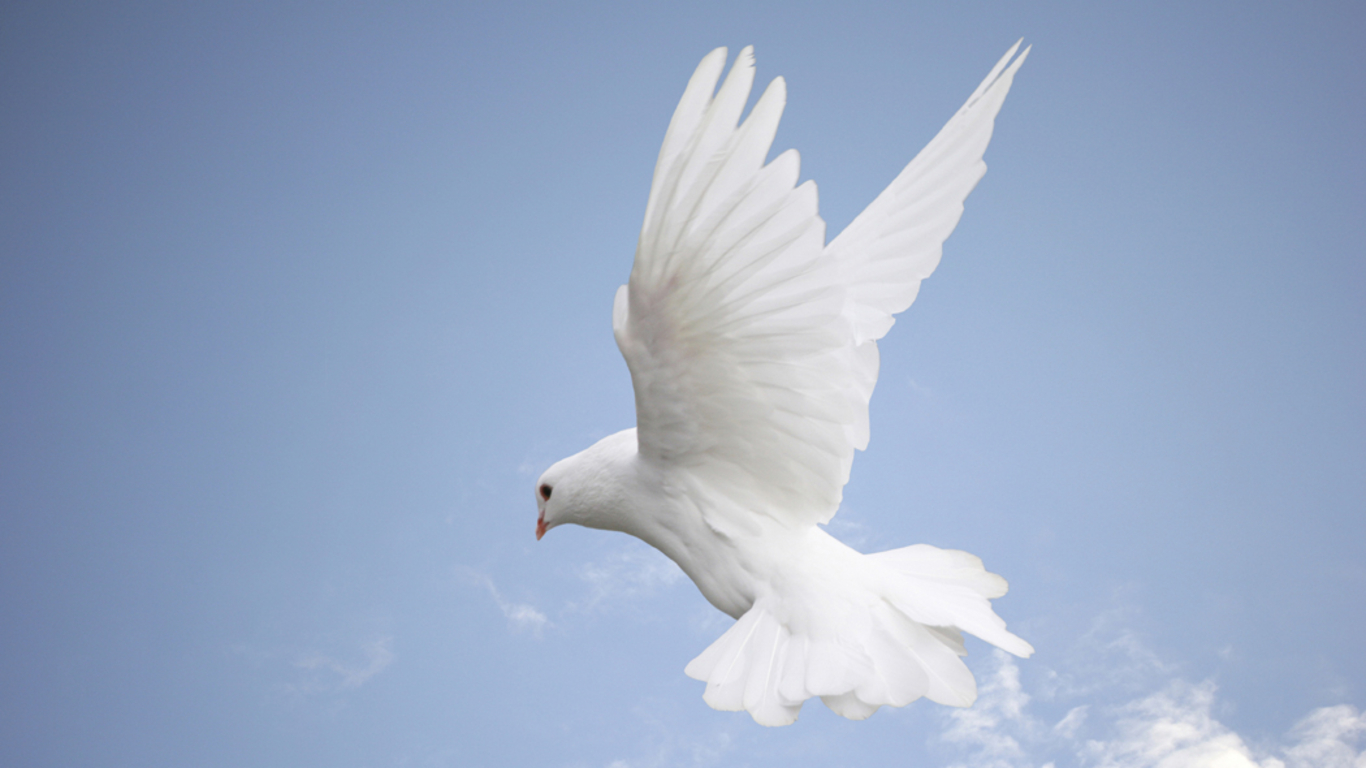 Pigeons Flying Wallpaper White Pigeons Over 2 Years a