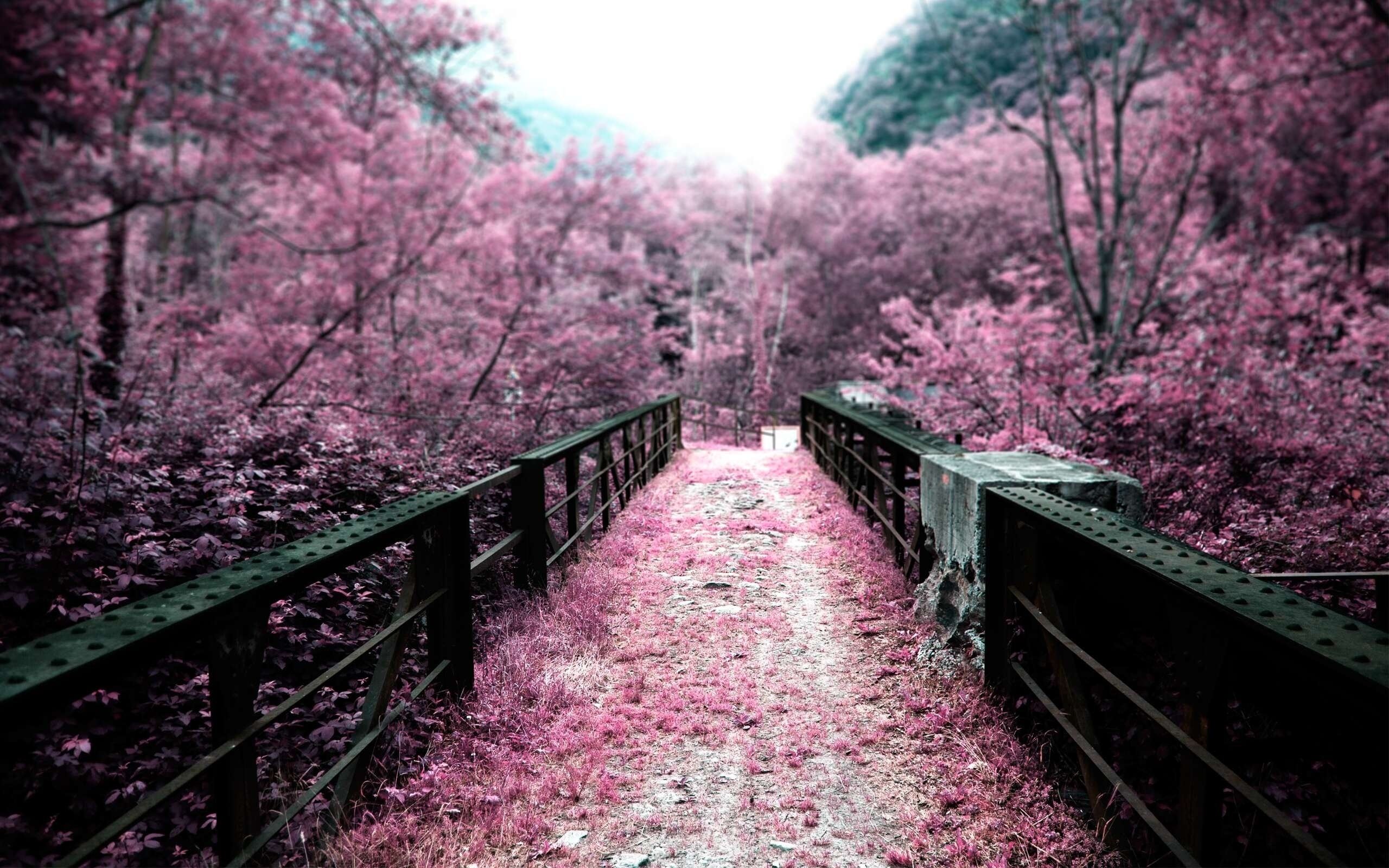 cherry blossom pictures - HD2560×1600