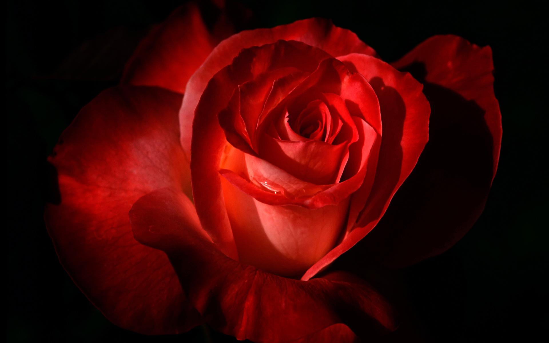 Scarlet Rose Desktop Wallpaper