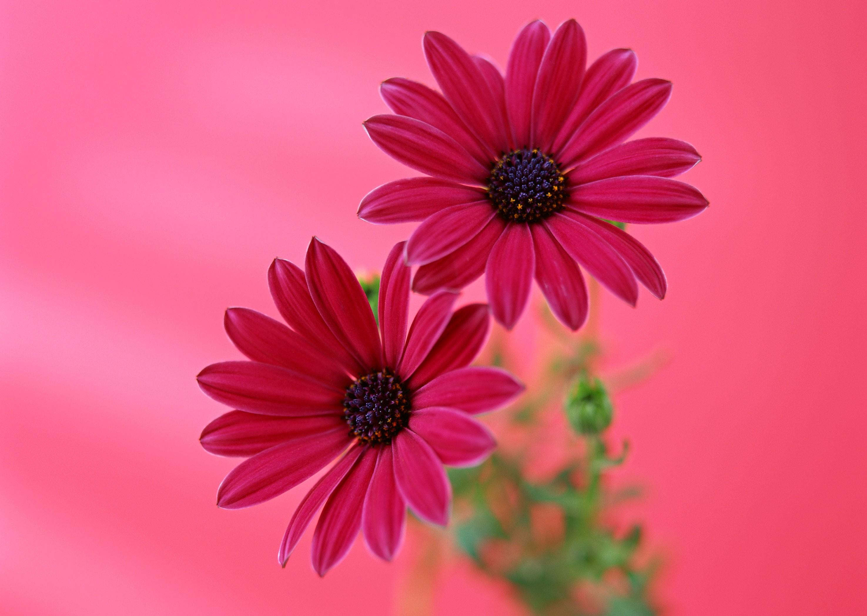 flowers desktop background wallpapers
