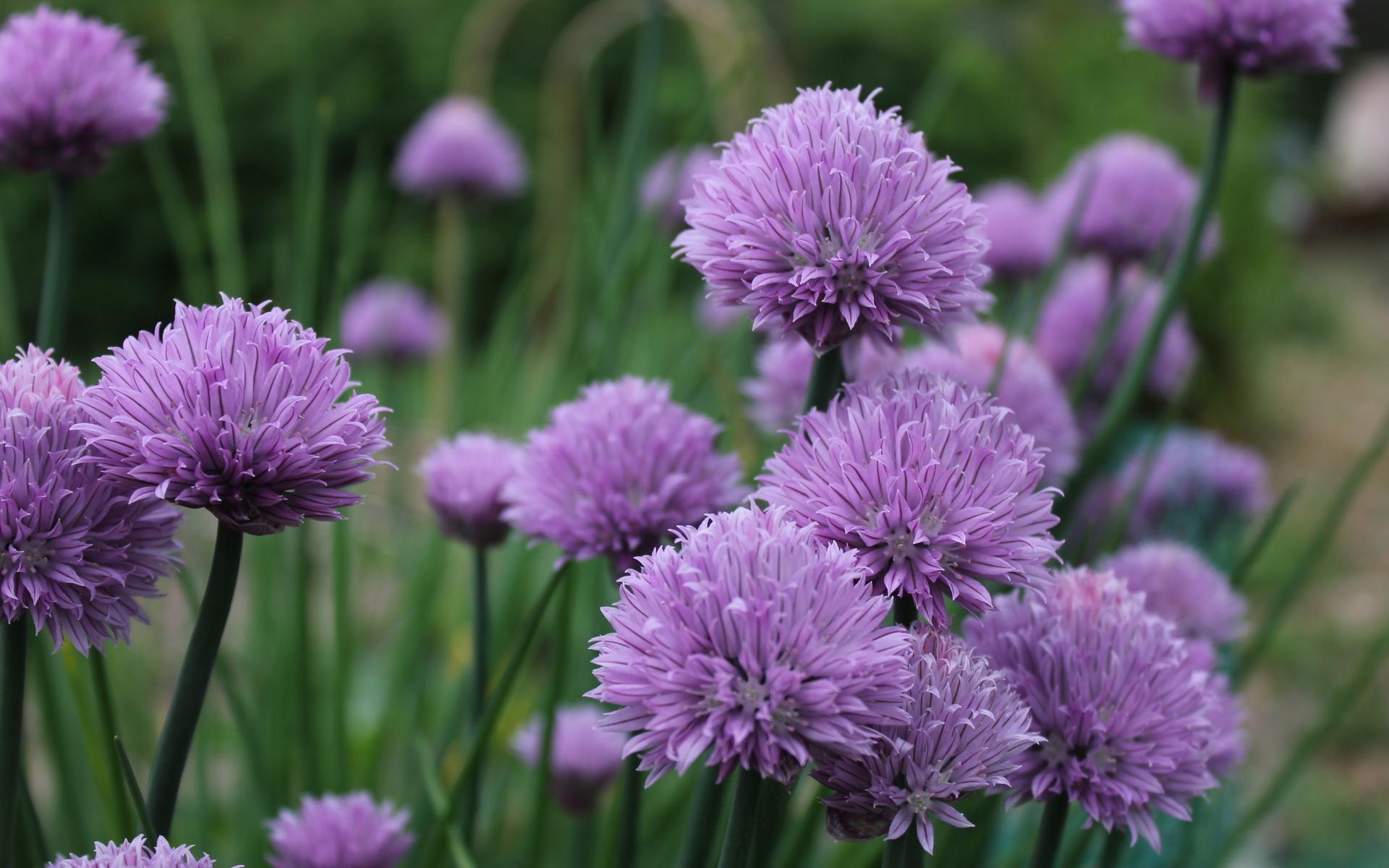 Chive Flowers By George Kirk