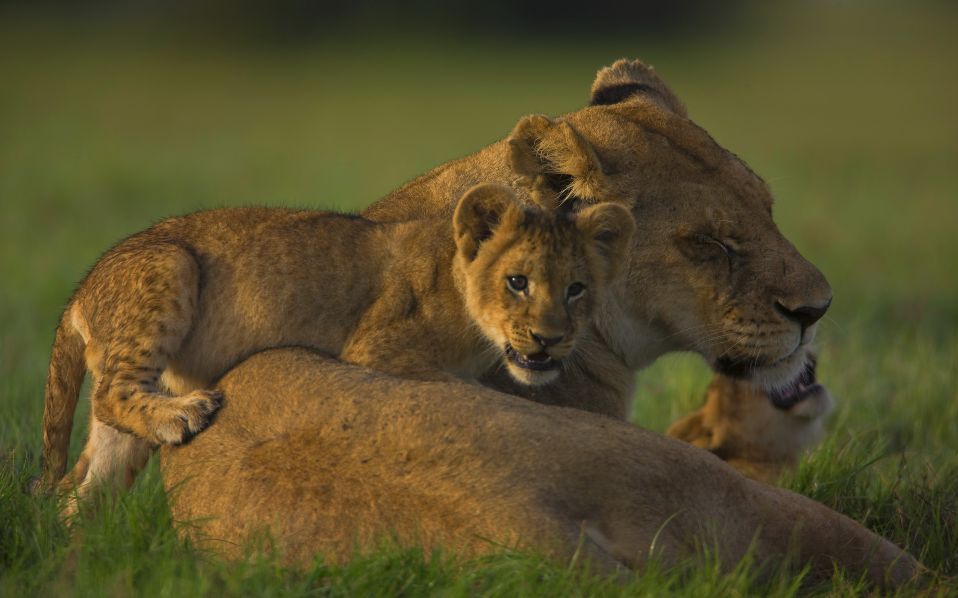 The Last Lions 2011 Documentary By Dereck And Beverly Joubert
