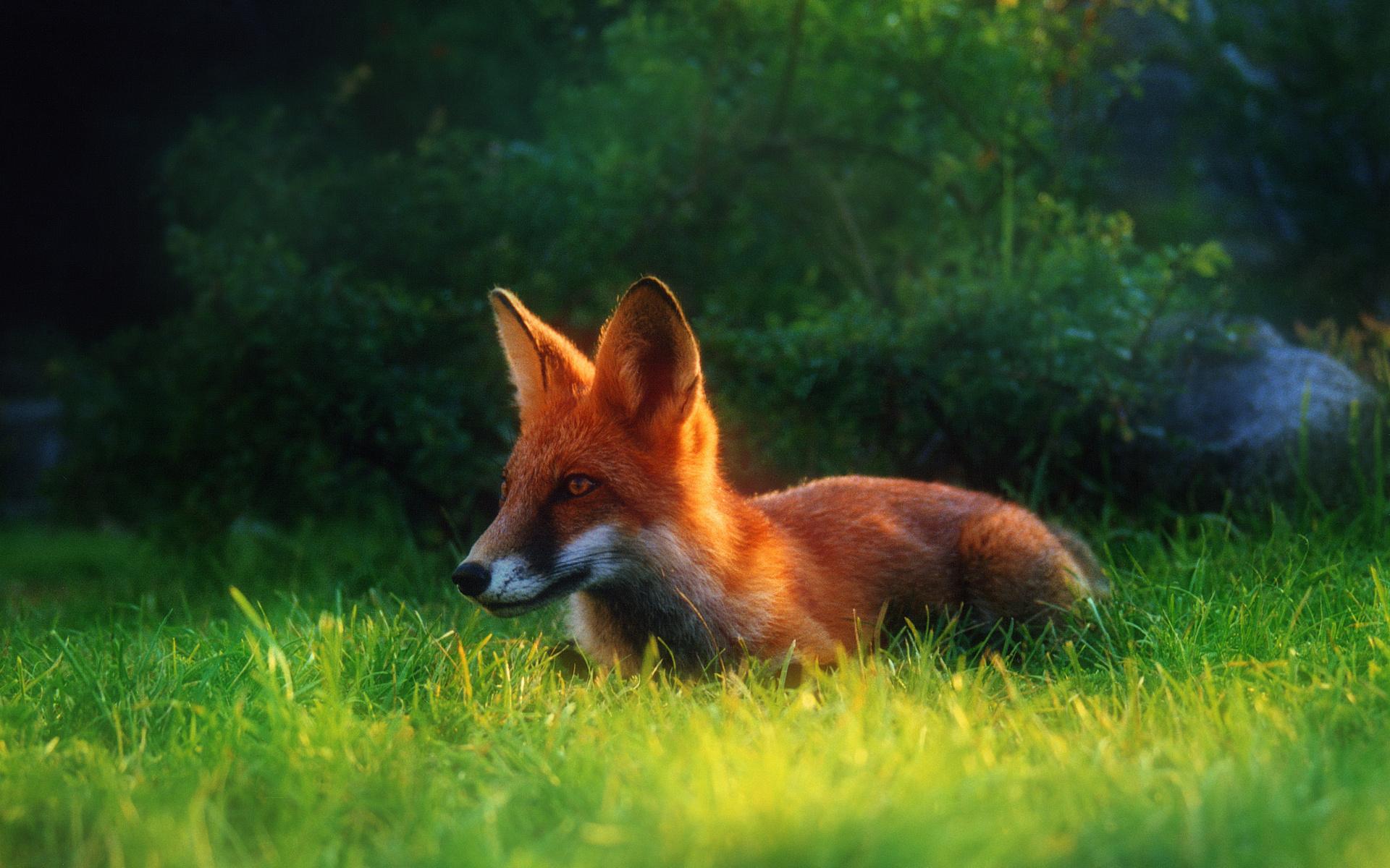 red fox wallpaper 777527