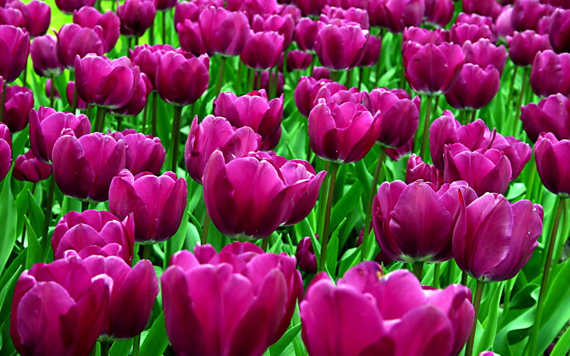Purple Tulips wallpaper - 870715