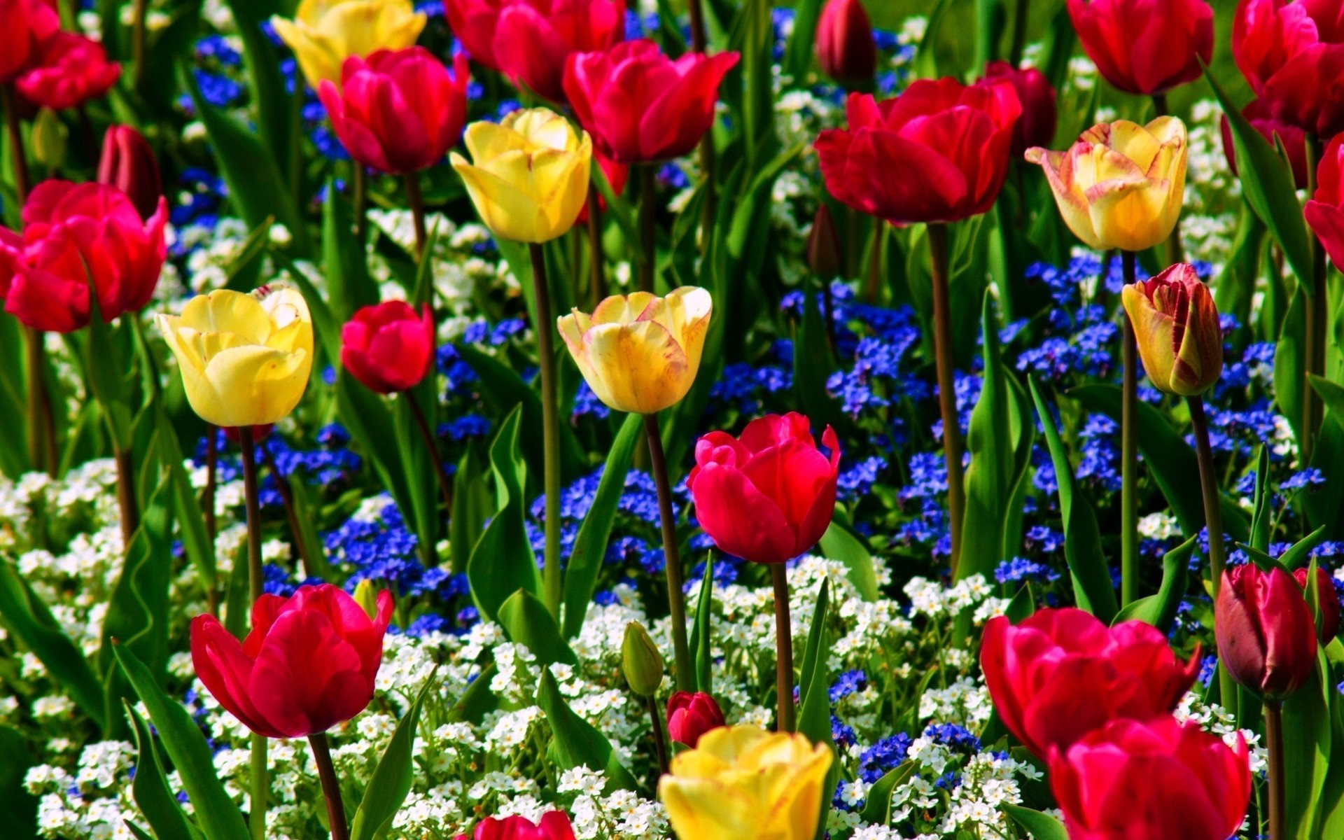Colorful 1 colors 1 flower 1 flowers 1 nature 1 tulip 1 tulips 1