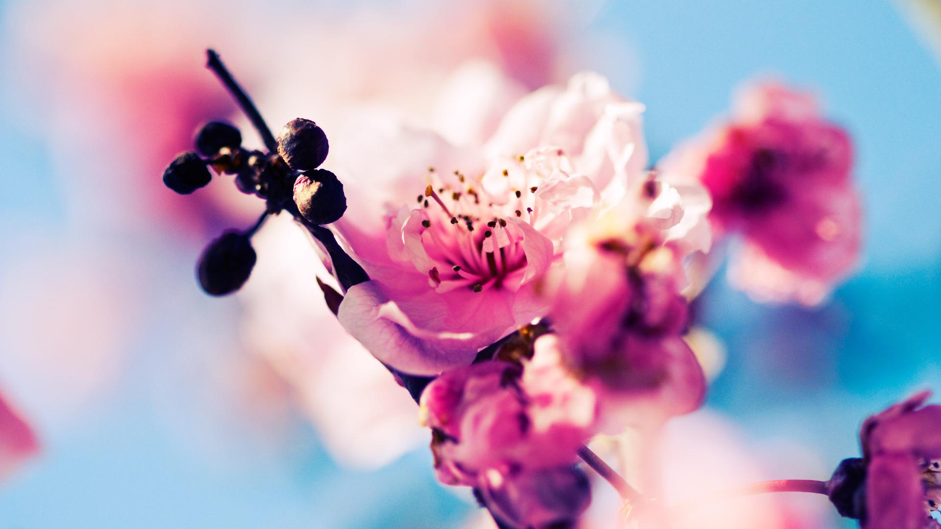 Hd Cherry Blossom - Desktop Wallpaper