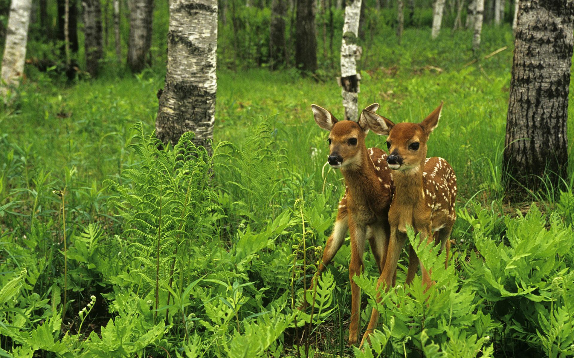природа животные олени nature animals deer скачать