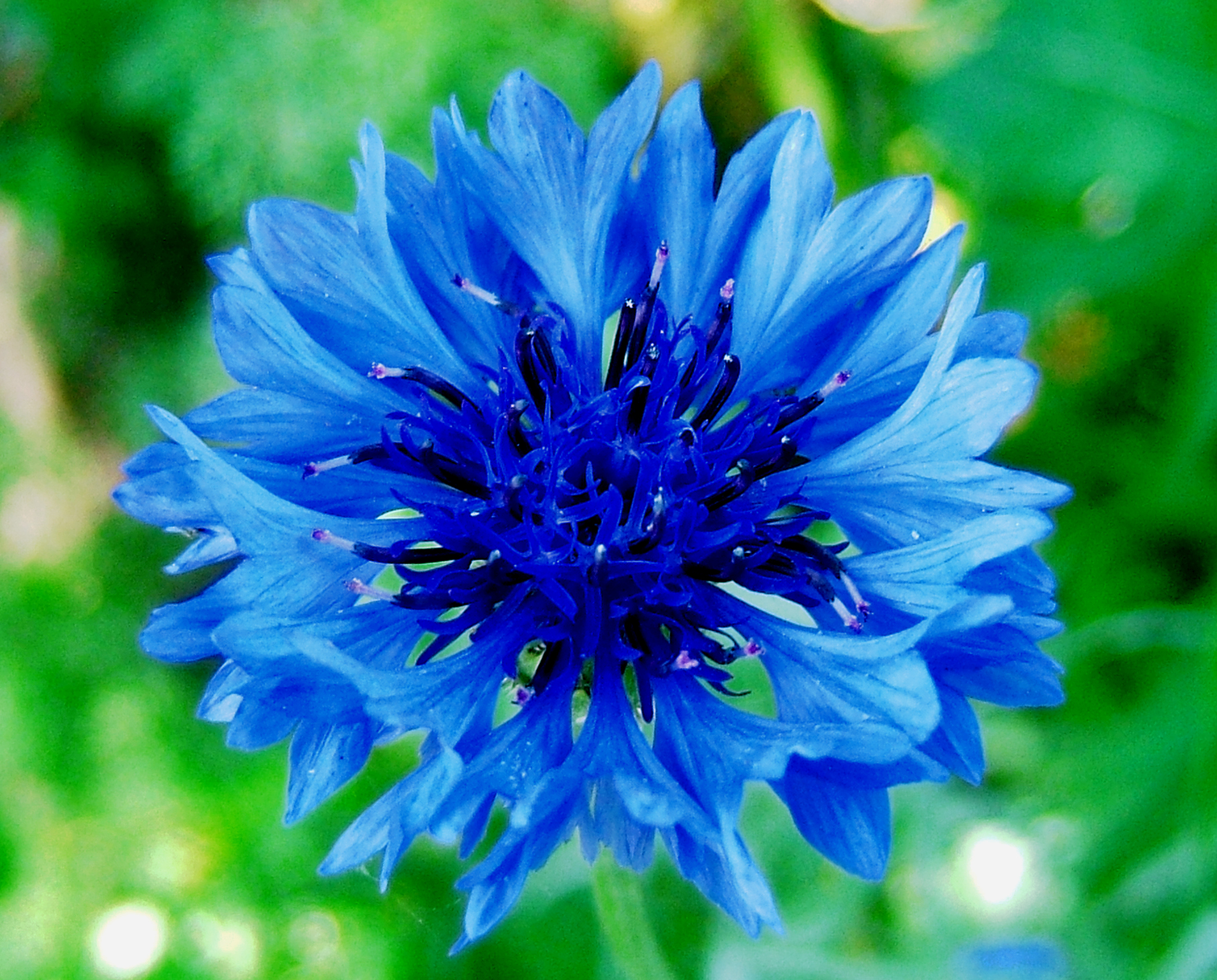 blue flower wallpaper download