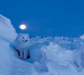 Arctic Fox - Desktop Wallpaper
