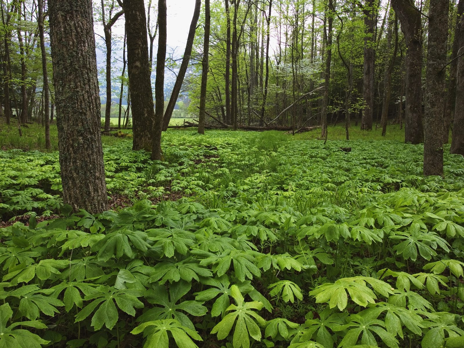 Mayapples, Great Smoky Mountains, Tennessee