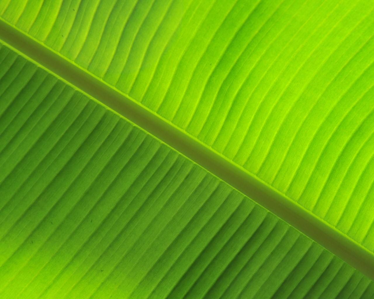 banana leaf by daniel sommerlad desktop wallpaper