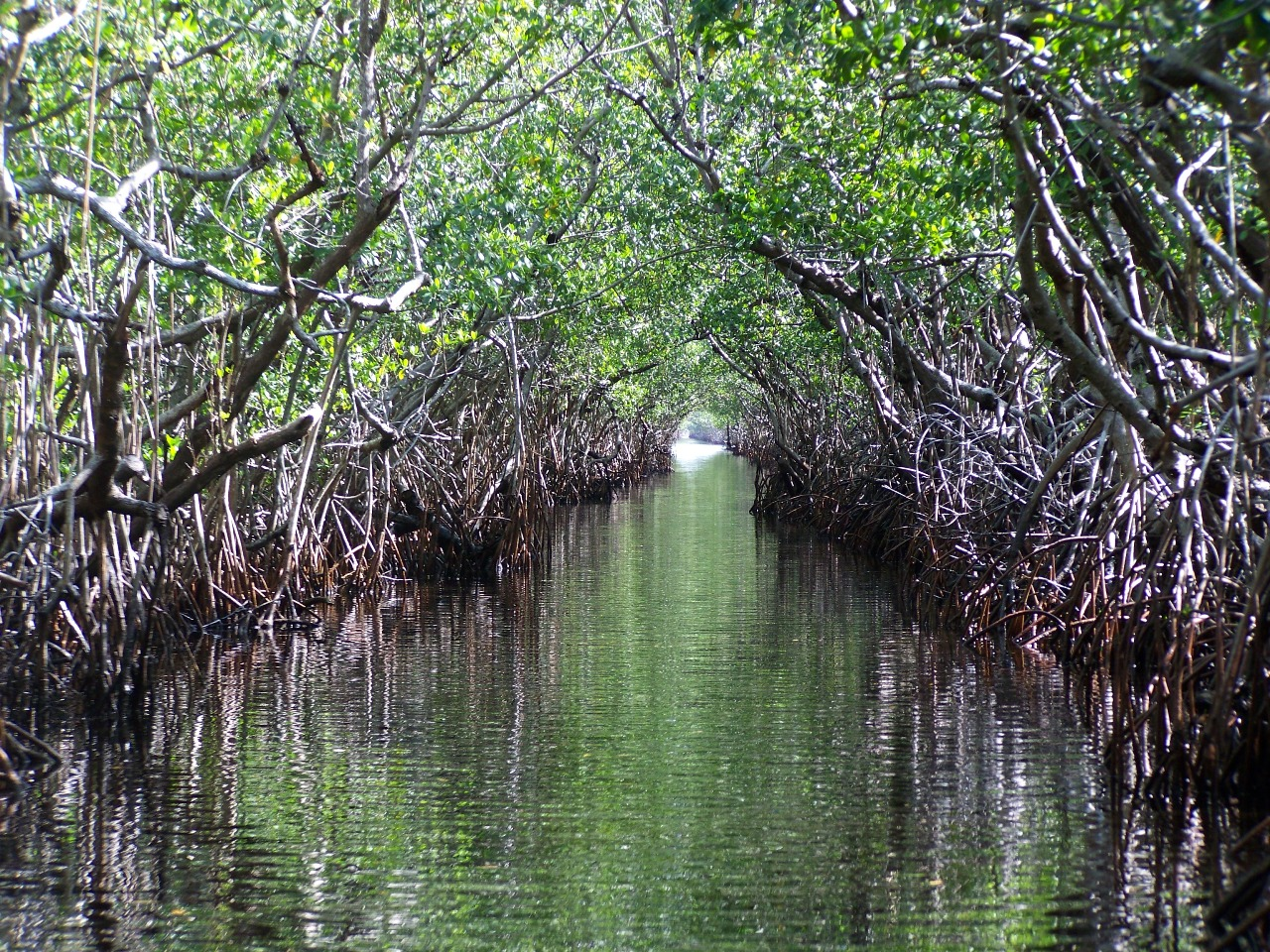 mangrove swamps Oil from a wrecked tanker is creating a disaster in the waters of bangladesh's  sundarbans, the largest contiguous tidal mangrove forest in the.